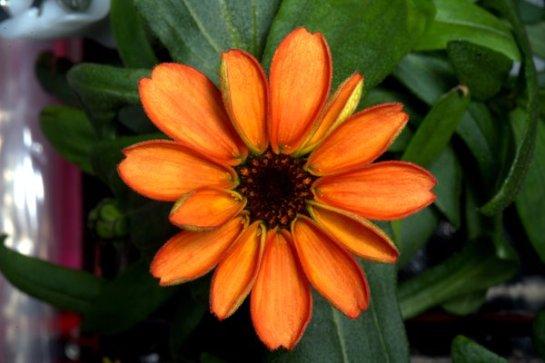 В космосе выращен первый цветок