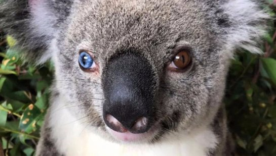 Найдена первая в мире коала с разными глазами