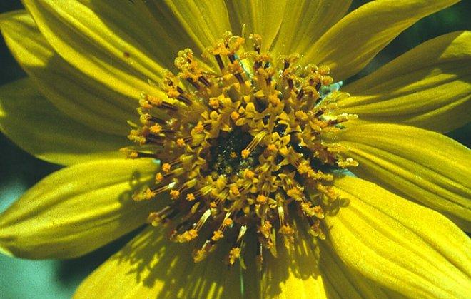 Шмели «учат» растения более активно размножаться