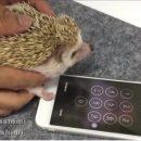 Еж смог разблокировать iPhone